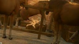 Lusty Stallion